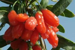 Φυτό από την Κίνα ταξιδεύει στη Μακεδονία