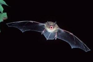 Νέος επικίνδυνος ιός από νυχτερίδες