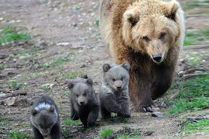 Αρκούδα τραυμάτισε κτηνοτρόφο στα Γρεβενά