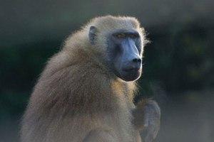 Οι πίθηκοι μπορούν να αναγνωρίσουν γραπτές λέξεις