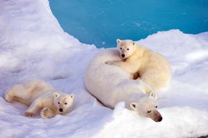 Η άνοδος της θερμοκρασίας απειλεί τις πολικές αρκούδες