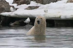 Η πολική αρκούδα και η... συγχρονισμένη κολύμβηση