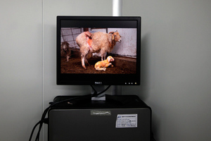 Κινέζοι επιστήμονες κλωνοποίησαν πρόβατο