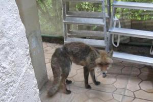 Συναγερμός από λυσσασμένη αλεπού στα Σκόπια