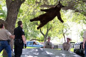 Θεαματική πτώση αρκούδας από δέντρο ύψους 4 μέτρων