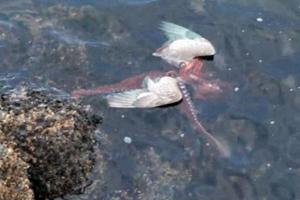Χταπόδι τραβάει ένα γλάρο μέσα στη θάλασσα