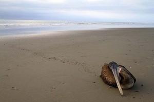 Μαζικοί θάνατοι πτηνών και δελφινιών στο Περού