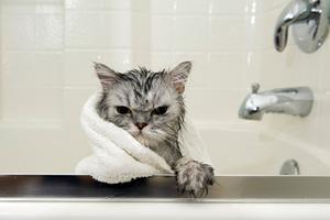 66fdad3e6ca6 Τι παίζει με τις γάτες και το νερό τελικά  – Perepet