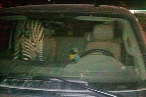Συνελήφθη μεθυσμένος με μία... ζέβρα για συνοδηγό!