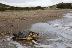 Αποκεφαλισμένες χελώνες ξεβράζει η θάλασσα στην Ελούντα