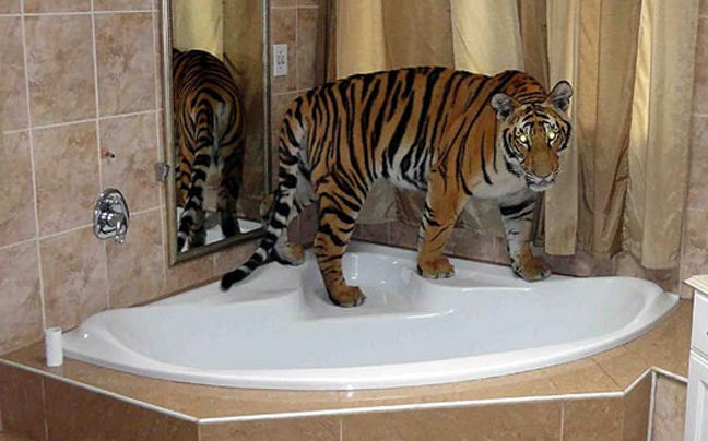 Τίγρης κατοικίδιο