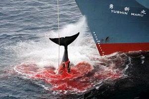 «Το Τόκιο θα σεβαστεί την απόφαση του ΔΠΔ και θα σταματήσει την φαλαινοθηρία στην Ανταρκτική»