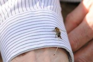 Τι συμβαίνει όταν μας τσιμπάει μια μέλισσα