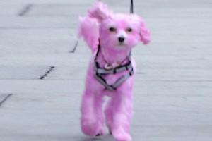 Έβαψε ροζ το σκυλί της!