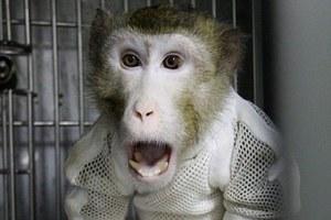 Μεταμόσχευσαν καρδιά μεταλλαγμένου γουρουνιού σε πίθηκο