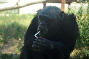 Χιμπατζήδες εθισμένοι στο τσιγάρο