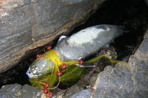 Μεσογειακή φώκια νεκρή στη Σάμο