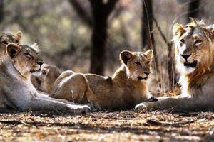 Οι περιβαλλοντολόγοι εκπέμπουν SOS για το ασιατικό λιοντάρι