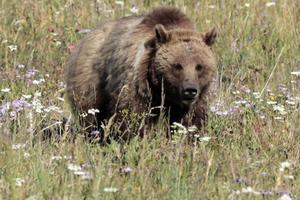 Νεκρές βρέθηκαν αρκούδα και το αρκουδάκι της στα Γρεβενά
