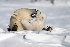 Πολική αρκούδα βοηθά το μωρό της να ανέβει στον πάγο