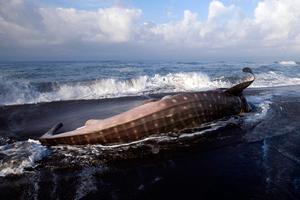 Άδοξο τέλος για το μεγαλύτερο ψάρι στον κόσμο