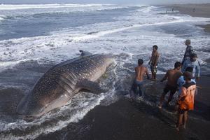 Δεύτερος φαλαινοκαρχαρίας νεκρός στην Ινδονησία