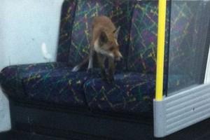 Μια αλεπού στο μετρό!
