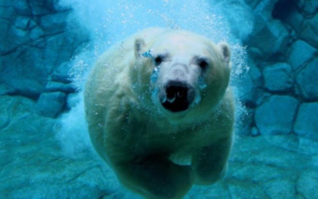Δέκα πράγματα που δεν ξέρετε για τις πολικές αρκούδες