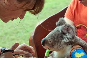 Το Κούινσλαντ διαθέτει 8,9 δισ. δολάρια για τη σωτηρία των κοάλα