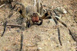 Δηλητηριώδης αράχνη γιατρεύει τη στυτική δυσλειτουργία