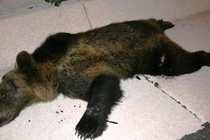 Νεκρή αρκούδα από ατύχημα με δύο αυτοκίνητα!