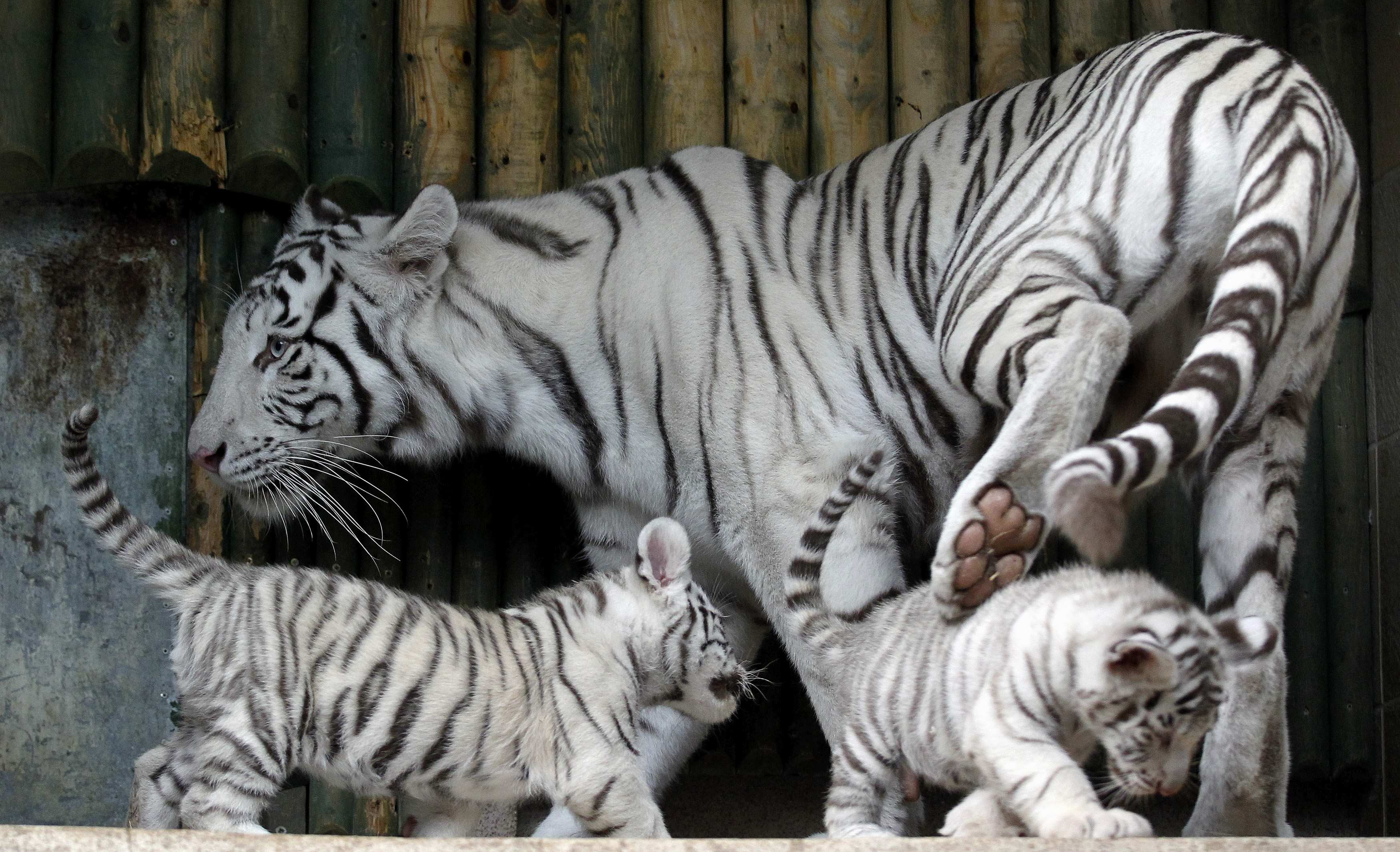 baby white tiger - HD1600×1000