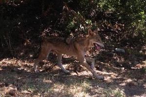 Ο λύκος έγινε… περδίκι!
