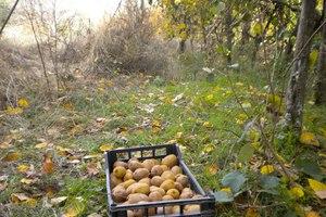 Έντομο προκαλεί ζημιές σε καλλιέργειες με ακτινίδιο στη Θεσσαλία