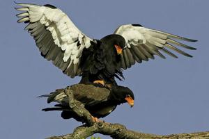 Πώς να πω αν κάποιος έχει ένα μεγάλο πουλί