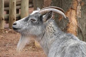 Εκπαιδευμένες κατσίκες γλυτώνουν δισεκατομμύρια στον αγροτικό τομέα