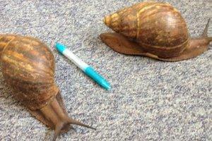 Γιγάντια σαλιγκάρια που προορίζονταν για τροφή γλίτωσαν τελευταία στιγμή
