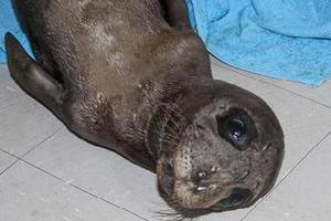 Διάσωση ορφανής μεσογειακής φώκιας στη Νάξο