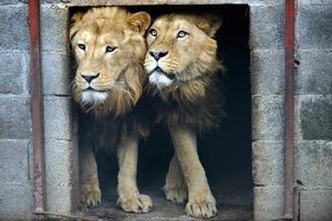 Κινδυνεύουν να εξαφανιστούν τα λιοντάρια στην Αφρική