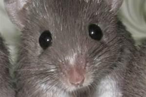 Ποντίκια αναγεννούν το δέρμα τους