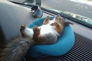 O σκίουρος που έγινε... ταξιτζής!