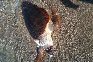 Νεκρή χελώνα ξεβράστηκε στην Κρήτη