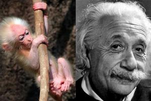 Το πιθηκάκι που μοιάζει στον… Αϊνστάιν