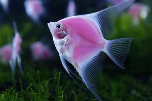 Το πρώτο ροζ φωσφοριζέ ψάρι