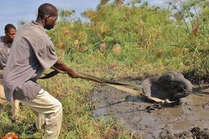 Συγκινητική διάσωση ελέφαντα στον Ζαμβέζη ποταμό