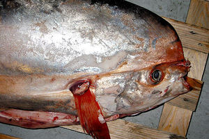 Το σπάνιο ψάρι έγινε κλοπιμαίο