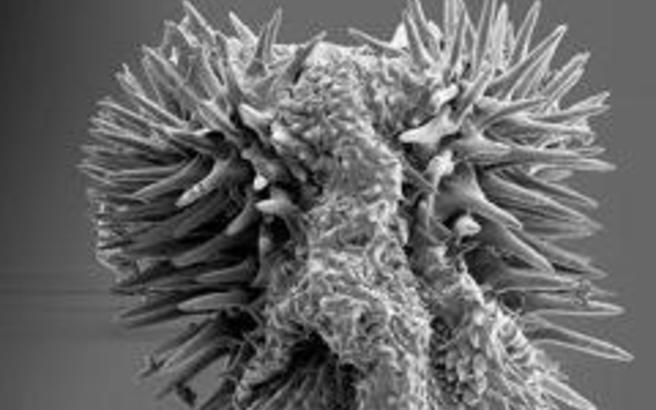 Μακρύτερα αγκάθια στα σκαθάρια βοηθούν την αναπαραγωγή