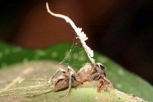 Φονικός μύκητας μετατρέπει τα μυρμήγκια σε ζόμπι