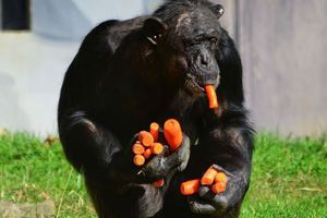Ο άπληστος χιμπατζής