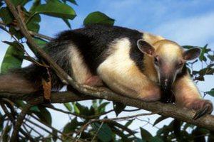 Απειλούμενα ζώα κλωνοποιούν Βραζιλιάνοι επιστήμονες